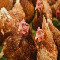 10 Feeding Strategies For The Management Of Heat Stress In Poultries