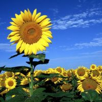 What Are The Factors To Be Considered In Sunflower Cultivation?