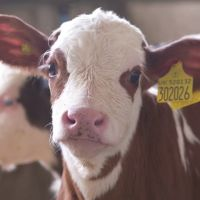Calf Management In The Pre- Fattening Period