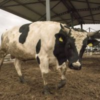 How Should Feeding Management Be In Animal Husbandry?