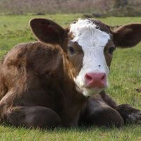 What Is The Earliest Delactation Time For Calf?