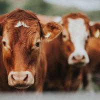 How Should Feeding Be In Dry Period?