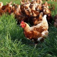 Maintenance And Feeding Methods For Free- Range Chickens