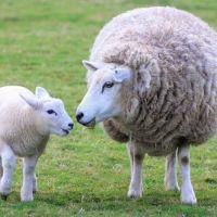 Fundamental Periods In Sheep Feeding