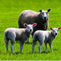What Are The Nutrient Requirements Of Sheep and Goat?