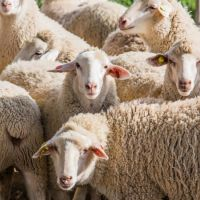 What Are The Technical Requirements For Sheep Feeding?