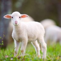 White Muscle Disease For Lambs