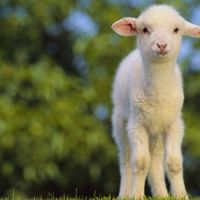 What Are The Factors To Be Considered In Lamb Feeding?