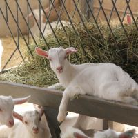 The Factors To Be Considered In The Nutrition Of Goats!
