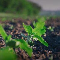 Bitki Gelişmesi Üzerine Potasyumun Etkileri