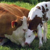 Sığırlarda Doğum Stresi Nasıl Azaltılır?