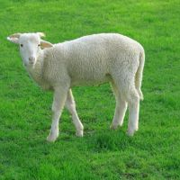 What Is The Importance Of Small Cattle Breeding In Turkey?