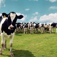 Yaz Mevsiminde Sığırları Nasıl Beslemeliyiz?