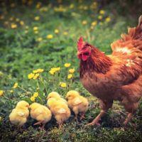 Yetiştirilme Amacına Göre Civciv Bakımı