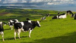 Süt İneklerinin Geçiş Dönemi Bakımı Ve Beslenmesi