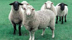 Breeding Sheep, Lamb, Ram Selection