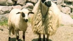 Chios Sheep