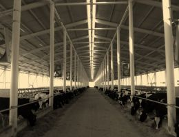 The First American Type Open Cattle Breeding