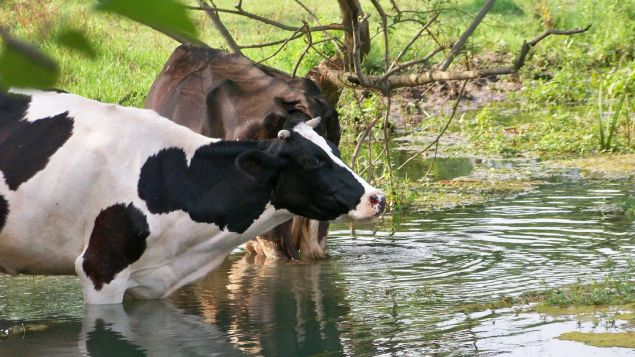 Heat Stress For Cattle