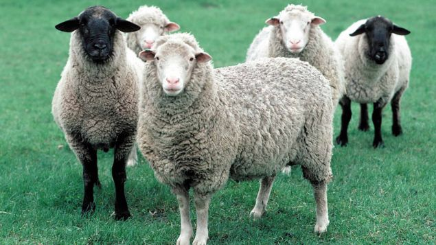 Damızlık Koyun, Kuzu, Koç Seçimi